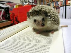 Hedgehog, studying for finals. ...
