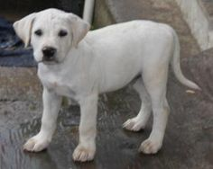 Santini is an adoptable Yellow Labrador Retriever Dog in Trevorton, PA.  Santini was rescued from a high kill shelter. He is an adorable 10 week old Lab mix who is very sweet and adorable! He is neute...