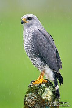 Gray Hawk   Flickr - Photo Sharing!. #BirdsofPrey #BirdofPrey #Bird of Prey #LIFECommunity
