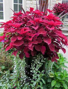 """Redhead"" coleus and silver falls (Dichondra hybrid)"