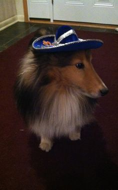 I love my new hat! #shelties #dogs #party