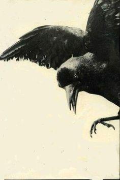 Crows + Ravens by suzette
