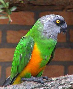 Sengal parrot