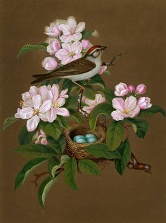 """Chipping Sparrow"" watercolor sketch by Isaac Sprague, 1840's"