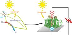 A semi-artificial leaf faster than natural photosynthesis - http://scienceblog.com/73996/semi-artificial-leaf-faster-natural-photosynthesis/