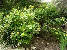 Venegasia carpesioides  - California Native - Dry Shade