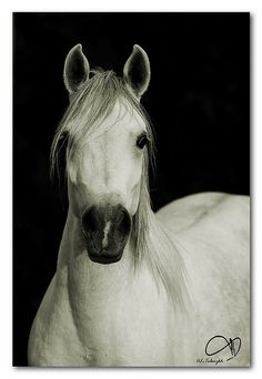 The Elegant Arabian
