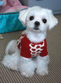 DOG SWEATER KNITTING PATTERN FOR MALTESE   KNITTING PATTERN