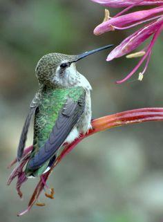 Anna's hummingbird perched on the Ammocharis longifolia blooms. photo by Melanie Hofmann