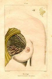 "mammary gland french 1851 hand coloured engraving $1507 x 10"" $125"