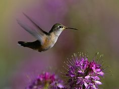 Humming Bird animals, back doors, little birds, purple flowers, hum bird, bird pictures, wallpapers, hummingbirds, backyards