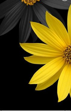 Grey and yellow flowers with black background.