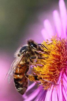 Honey Bee...