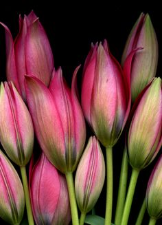 coffeenuts:  Tulipa 'Little Beauty' (by horticultural art)
