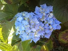 Hydranga in bloom 6-9-2012