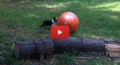 This Boston Terrier is Having Fun Playing with his Favorite Toy, a Yoga Ball! Go here to Watch ► http://www.bterrier.com/?p=25596 - https://www.facebook.com/bterrierdogs