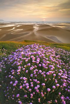 Sea thrift flowers.  Widemouth Bay, North Cornwall