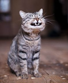 happy faces, picture day, smiling animals, cheshire cat, silly cats, funny cats, pet, funny kitties, cat photos