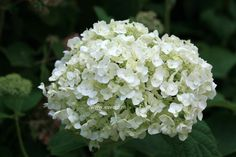 Incrediball Hydrangea arborescens 'Abetwo'