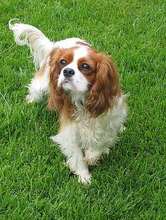 Should You Crate Train A Cavalier King Charles Spaniel...