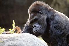 Ivan the gorilla Atlanta Zoo