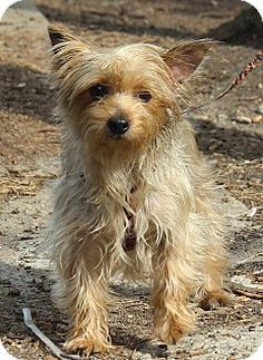 New York, NY - Yorkie, Yorkshire Terrier. Meet Penelope a special needs dog for Adoption at the Humane Society of New York. http://www.adoptapet.com/pet/10175848-new-york-new-york-yorkie-yorkshire-terrier