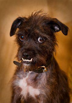 Boston Terrier Mix Puppies