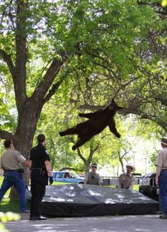 "Not sure what's going on here? Did he fall out of a tree? The caption said ""a tranquilized ."""