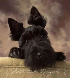 precious baby...love how my scotties tilt their heads like that sometimes