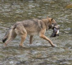 catch breakfast, fish creek, alaska, wildlife, wildlif observ, creek wildlif, wolf catch