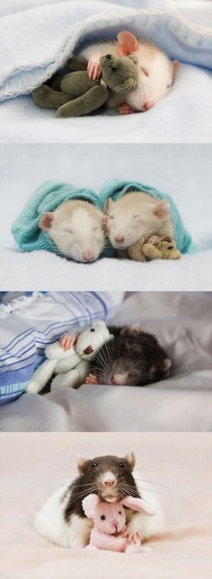 Rats with teddy bears…