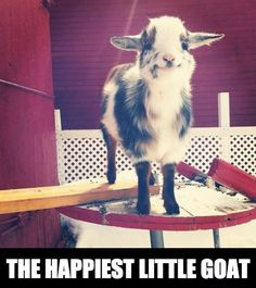 That is an adorably happy goat!