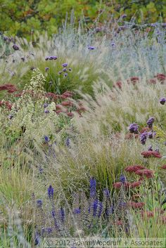 Pennisetum Hameln, Perovskia atripicfolia, Verbena bonariensis, Heuchera Autumn Bride, Salvia May Night, Sedum Beka, Sesleria autumnalis autumn garden, autumn bride, beds, brides, bells, central oregon, road, native plants, verbena bonariensi
