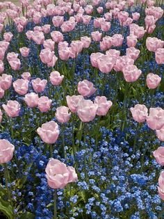 pink-triumph-tulips-of-salmon-jewel-kind-blossom-among-forget-me-nots