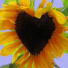 Sunflower with a heart