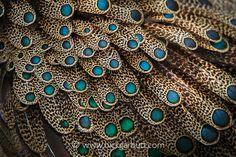 Malayan Peacock Pheasant Feathers
