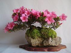 flowering bonsai on rock