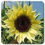 Organic Lemon Queen Sunflower
