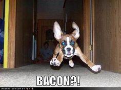 Boxer Dog Runs To Bacon