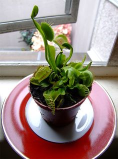 beautiful venus flytrap
