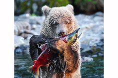 Bear and Fish by Seth Casteel