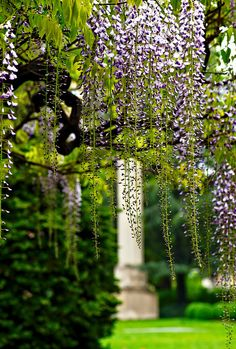 Japanese Wisteria at the  Brooklyn Botanic Garden