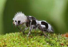 Most Amazing Macro Insect Photography offers a close up view of natures smaller inhabitants. This image of a Panda Ant by Chris Lukhaup mesmerises with minute detail. The Mutillidae are a family of more than 3,000 species of wasps whose wingless females resemble large, hairy ants. Found in Chile. Black and white specimens are sometimes known as panda ants due to their hair coloration resembling that of the Chinese giant panda.