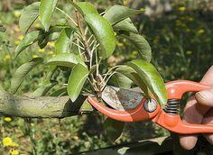 www.rustica.fr - Quand tailler les arbres fruitiers et arbustes à petits fruits ?