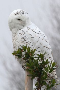 ☀Snowy Owl by Paridae, via Flickr*