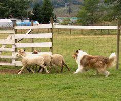 .a true sheep dog