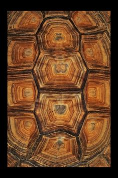 tortoise shell... Like a tree you can count the rings on a turtle/tortoise's back to find out about how old they are.