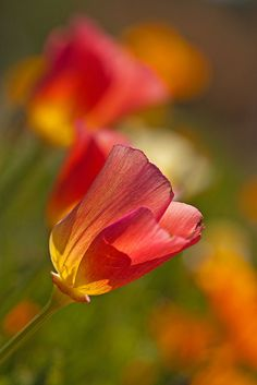 ~~California Poppies~~ For more info about Half Moon Bay, CA Activities: http://www.halfmoonbay365.com/