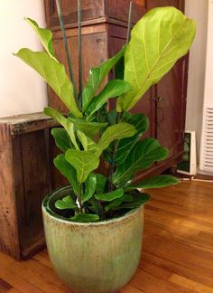Fiddle Leaf Fig tree. House Plants | East to West