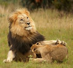Africa | 'Lion Discipline ~ Lion cub learning from dad when play time is appropriate, and when not'. Welgevonden, South Africa | ©Rudi Hulshof